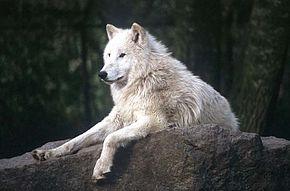 Weisser_Wolf_Berlin_ca_1998